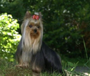 Yorkshire Terrier en pose